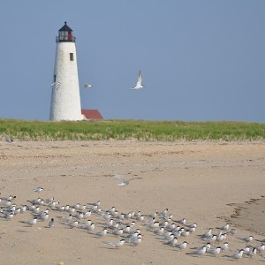 Large white lighthouse with patch of green grass and expansive beach and birds in front