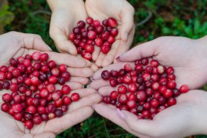 The hands of three people open together and holding bright red cranberries