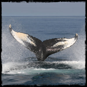 whale fin breaching the water